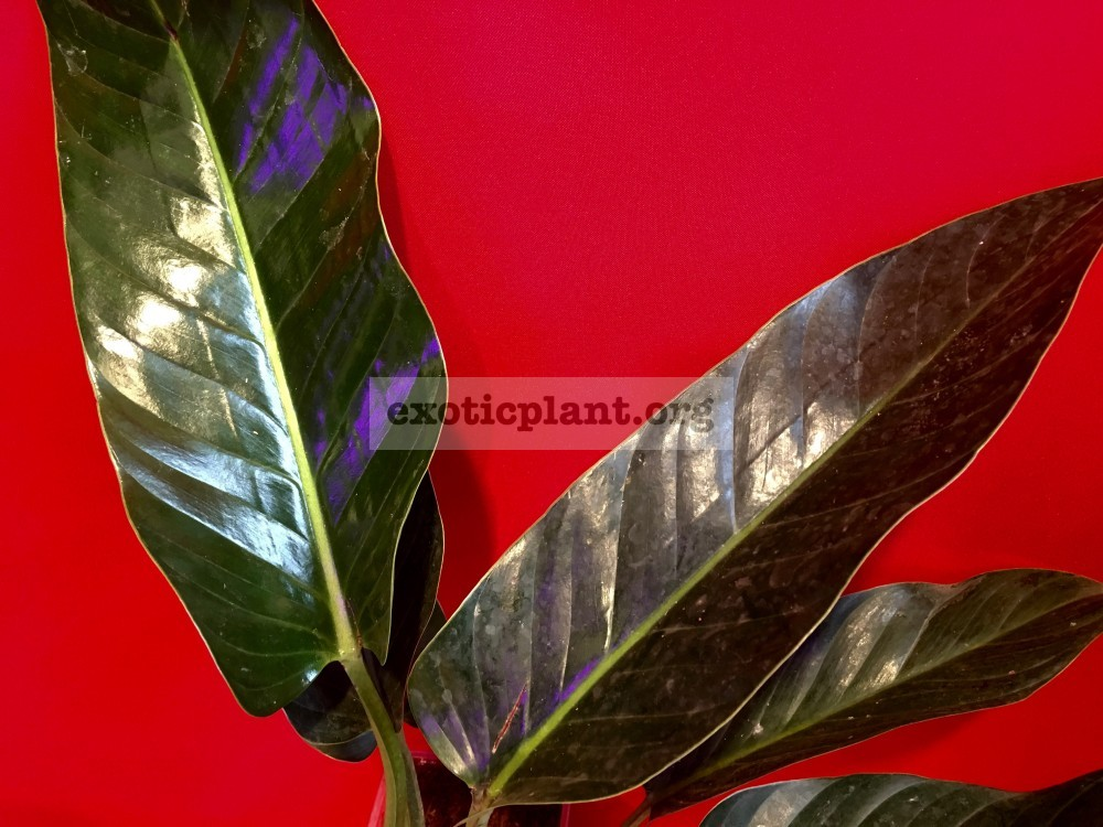 philodendron sp glance 50