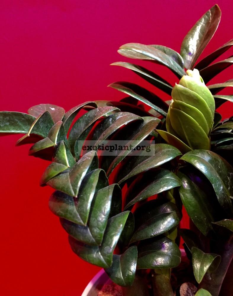 Замиокулькас (Zamioculcas zamiifolia)   Exotic Plant черешок