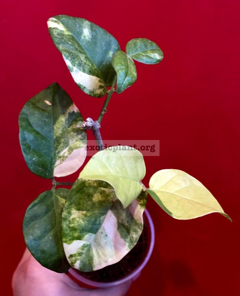 Jasminum sambac variegated 70