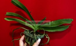 Rhyncostylis gigantea orange 35