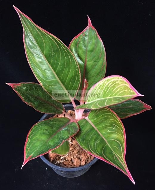 Aglaonema Red Frost 40