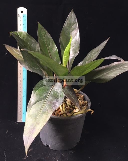 Anthurium Black Dragon (compact form) 30