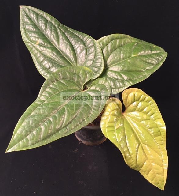 Anthurium Siri (radicans x dressleri) 45