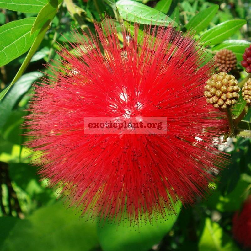 Calliandra Tweedii / Каллиандра Твиди 26