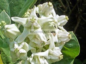 Calotropis gigantea var alba Asclepiadaceae (white flower) 20