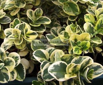 Carissa grandiflora variegata 20