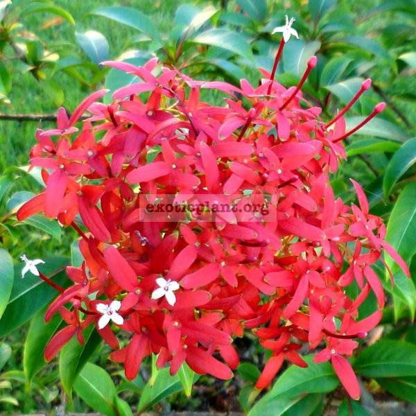 Carphalea kirondron (Flaming Beauty) 45