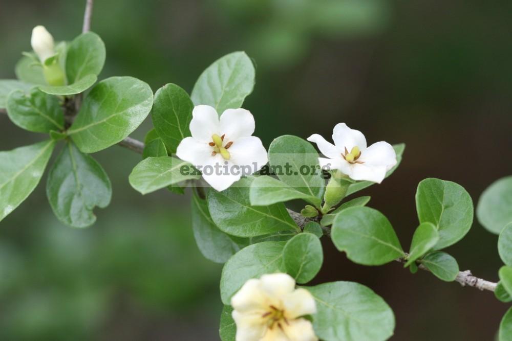 Catunaregam uliginosa Rubiaceae 26