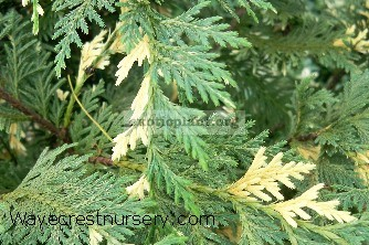 Chamaecyparis lawsoniana variegated 30