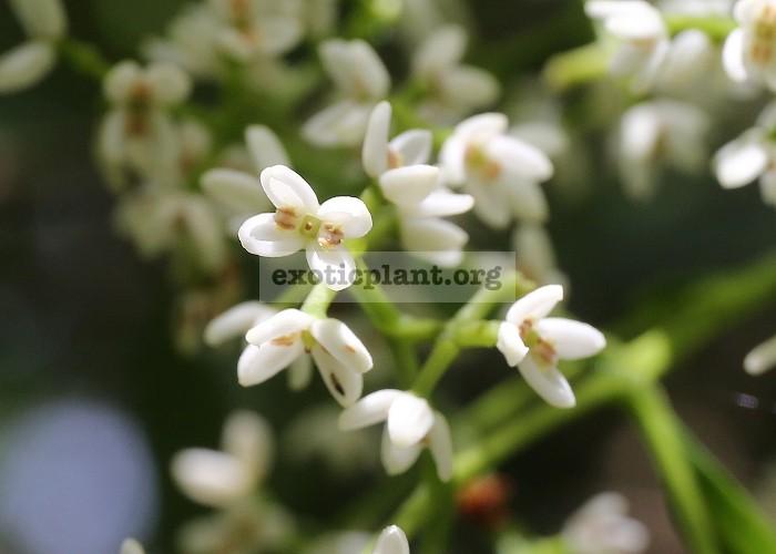 Chionanthus ramiflorus 26
