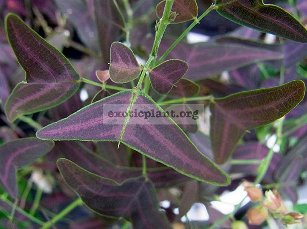 Christia (purple leaf) 12