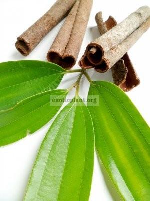 Cinnamomum zeylanicum = verum 20