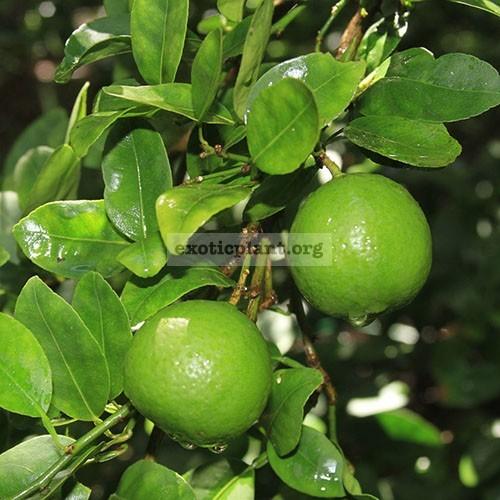 Citrus aurantifolia <Key Lime> 20