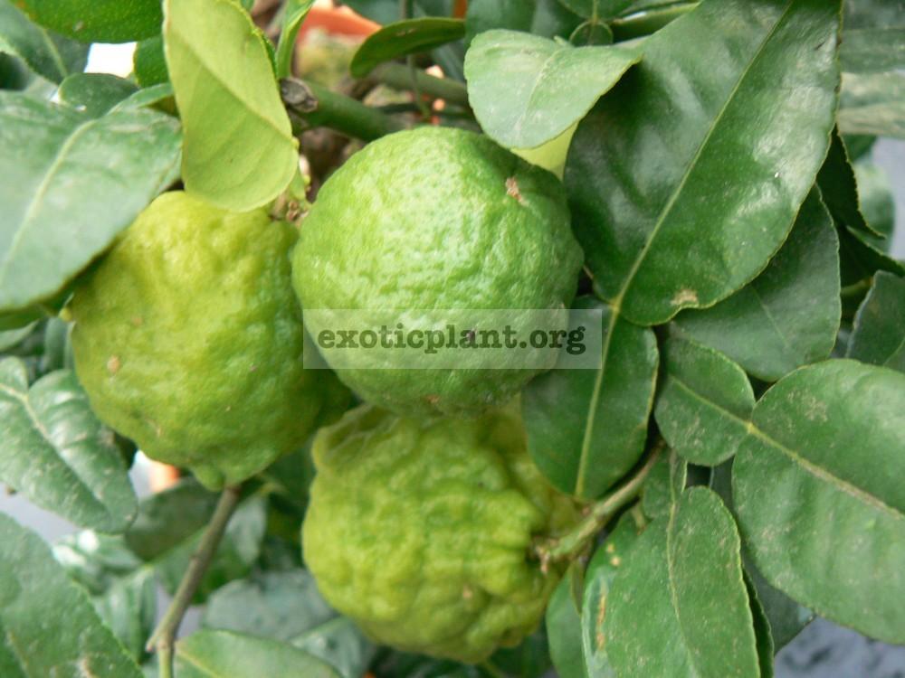 Citrus hystrix (kaffir lime) (M) 20
