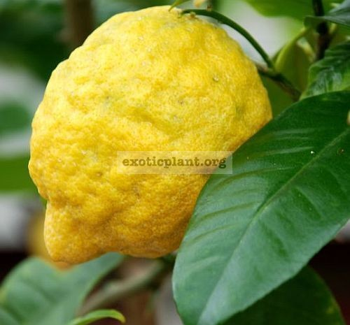 Citrus medica (not variegated) 20