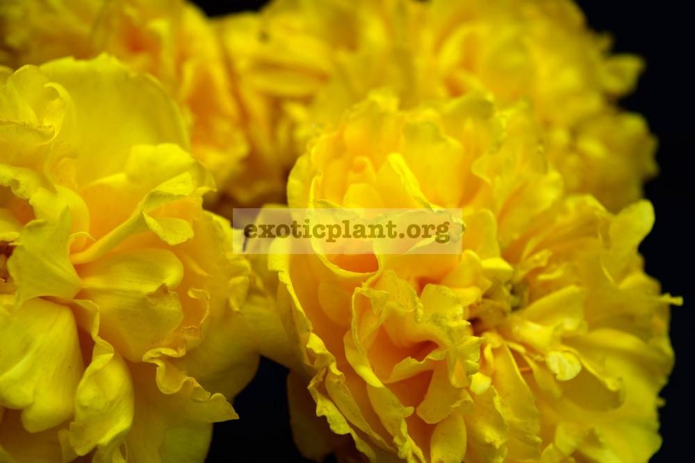 Cochlospermum regium (double flower) 25