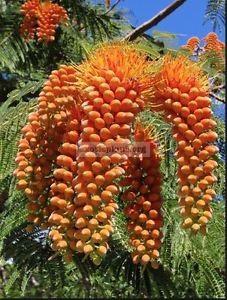 Colvillea racemosa 35