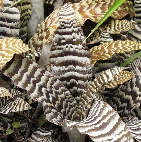 Cryptanthus Kamehameha 16