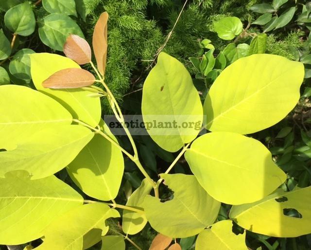 Dendrolobium umbellatum 'Vanuatu' (yellow leaf) 50