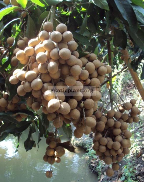 Dimocarpus longan 'Puang Thong' 40 Мутация от сорта 'Edor'. Плоды крупнее, сорт плодоносит охотнее, чем 'Edor'.