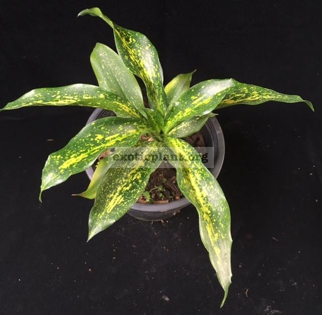 Dracaena 'Indonesia Tracker' 40