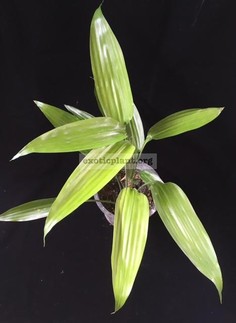 Dracaena thalioides (green leaf) 30