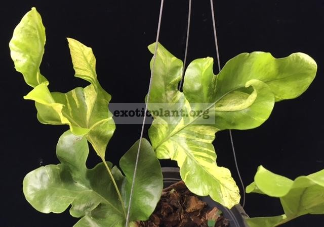 Drynaria sp.(T06) (white variegated) 50