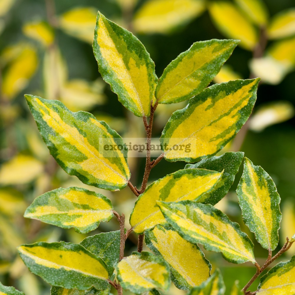 Elaeagnus latifolia variegata 20