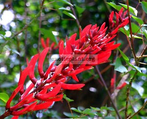 Erythrina Coral Tree 24