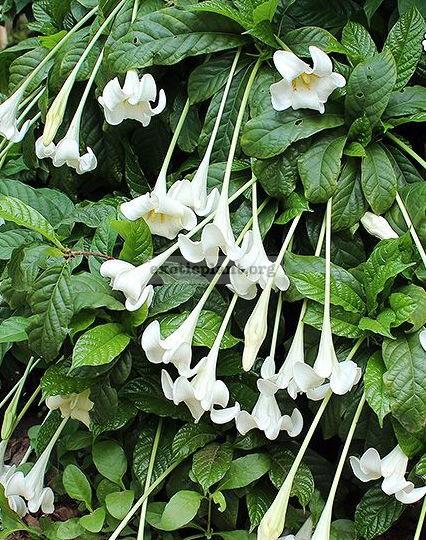 Randia macrantha (Euclinia longiflora) 35