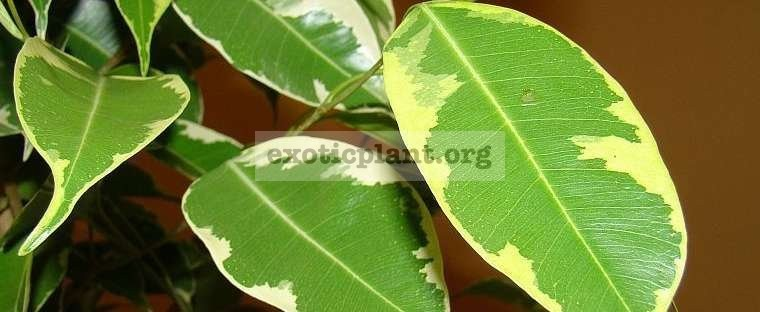Ficus benjamina  Golden King  20