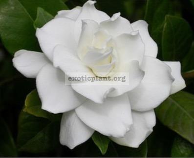 Gardenia 'Belmont' (oval leaf) 20