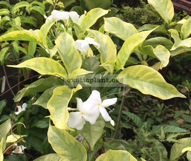Gardenia sp. Golden leaf=Tabernaemontana sp. Golden leaf (single flower) 30