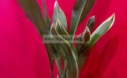 Grammatophyllum scriptum variegated 25