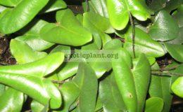 Hemionitis arifolia 24