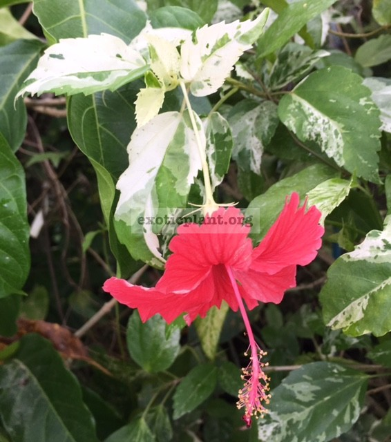 Hibiscus rosa-sinensis (white variegated) 20