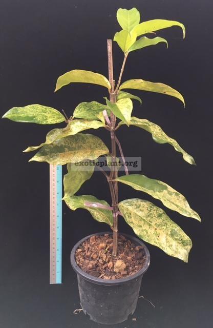 Hiptage lucida variegated 60