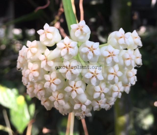 189 Hoya pachyclada (White) 23