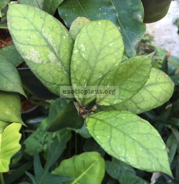 903 Hoya sp.(903) (aff. clemensiorum)(#903) 45