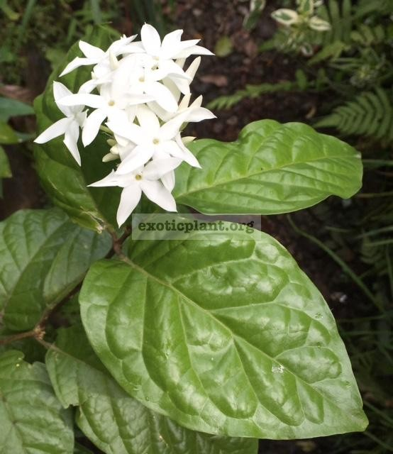 Jasminum sp.(T02) Eastern Thailand 35