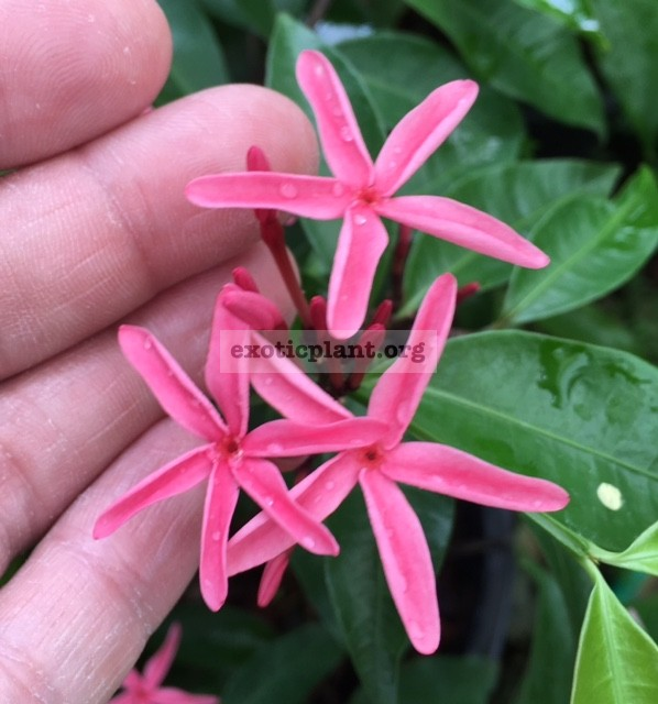 Kopsia sp.(T02)(pink flower)(L) 60