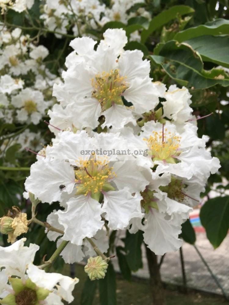 Lagerstroemia indica (white flower)(EP) 26