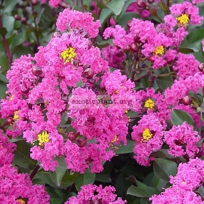 Lagerstroemia indica (pink flower)(EP) 23