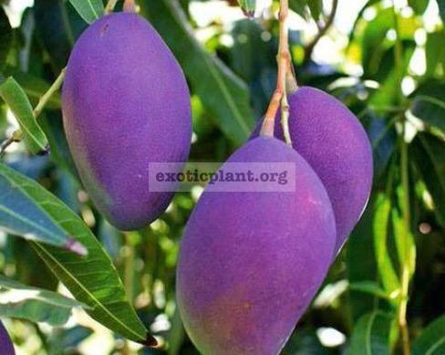 Mangifera indica  Nam Doc Mai  (purple fruit) 40 созревшие плоды желтые и очень сладкие