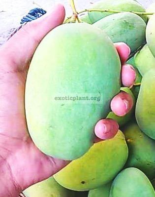 Mangifera indica  Petch Baan Lad 30 плоды среднего размера, мякоть кисло-сладкая, хрустящая