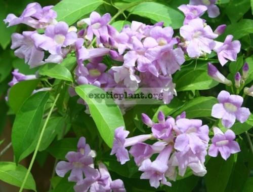 Mansoa alliacea Bignoniaceae 20