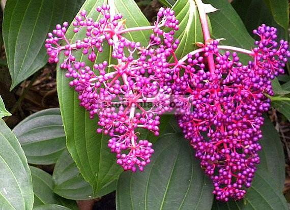 Medinilla cumingii (big leaf) 20