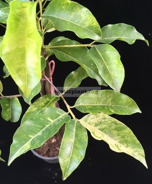 Mimusops elengi (golden variegated leaf) 30