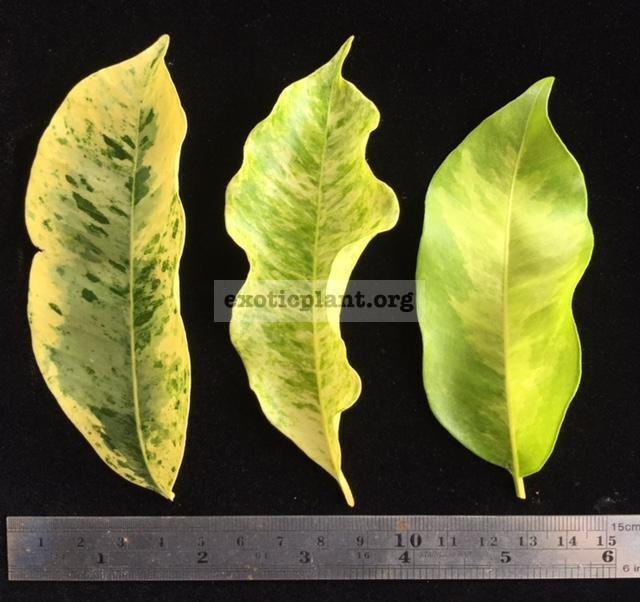 Mimusops elengi (white variegated leaf)(слева), Mimusops elengi (yellow variegated leaf)(wavy edge leaf)(в центре), Mimusops elengi (golden variegated) справа