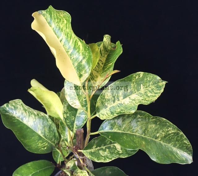 Mimusops elengi (yellow variegated leaf) (wavy edge leaf) 20